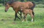 Chov koní plemena Furioso