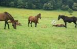 Ustajňovanie koní
